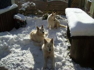 weiße Schäferhunde von der Mosel